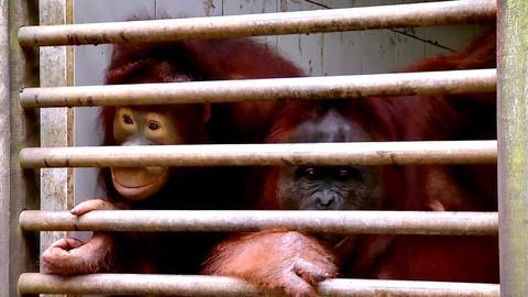 Operation Wild -- Rosemary the Orangutan