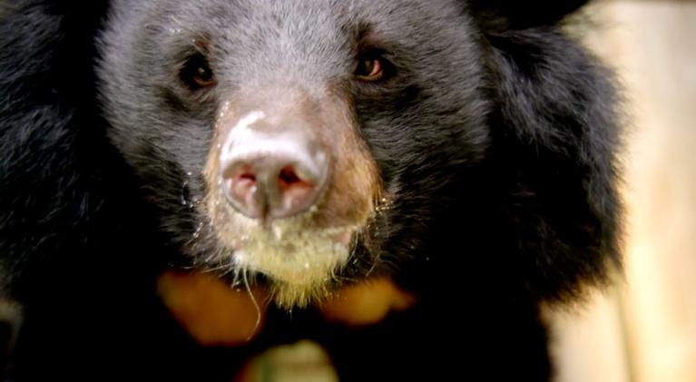 Operation Wild: Moon Bear Brain Surgery