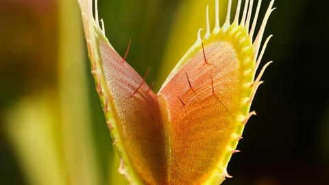 Plants Behaving Badly -- The Venus Flytrap