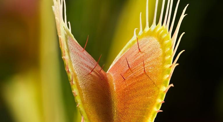 Plants Behaving Badly: The Venus Flytrap