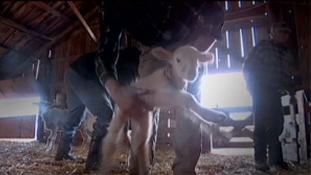 Finding Mothers for Orphan Lambs