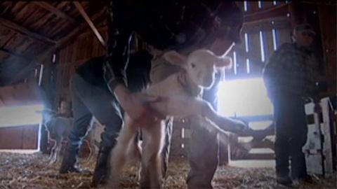 POV -- S24 Ep3: Finding Mothers for Orphan Lambs