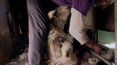 The Shearing of Sheep