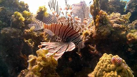 Saving the Ocean -- Scourge of the Lionfish