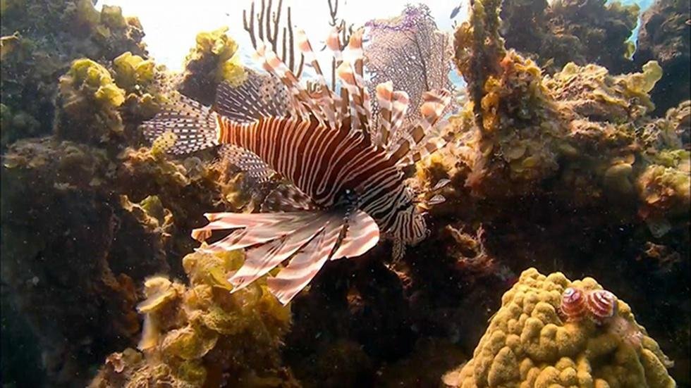 Scourge of the Lionfish image