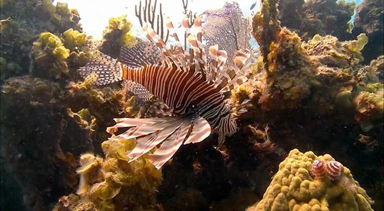 Saving the Ocean: Scourge of the Lionfish