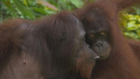 Sex in the Wild -- Orangutans