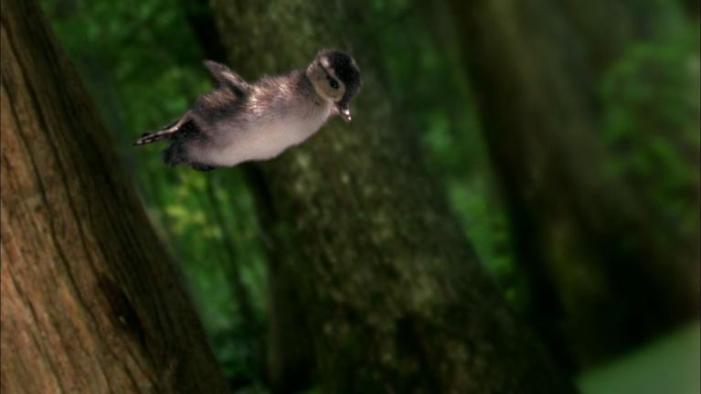 SuperNature - Wild Flyers: Wood Ducklings Take a Leap of Faith on the Day They Hatch