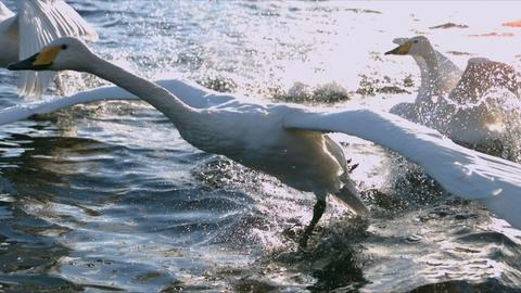 SuperNature - Wild Flyers -- A Powerful Swan Take Off