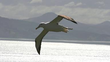 How the Albatross Soars