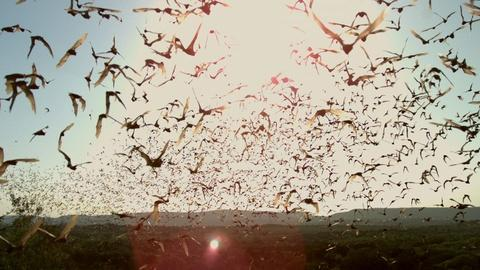SuperNature - Wild Flyers -- Bat Wings: The Ultimate Flying Machine?