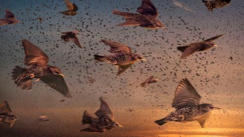 SuperNature - Wild Flyers -- Inside a Giant Flock