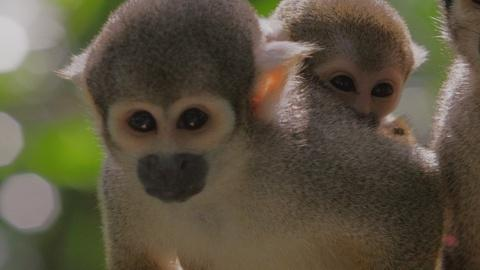 Meet Your Cousins: Squirrel Monkeys