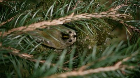 Nature -- The clever way the tiniest bird warms her nest