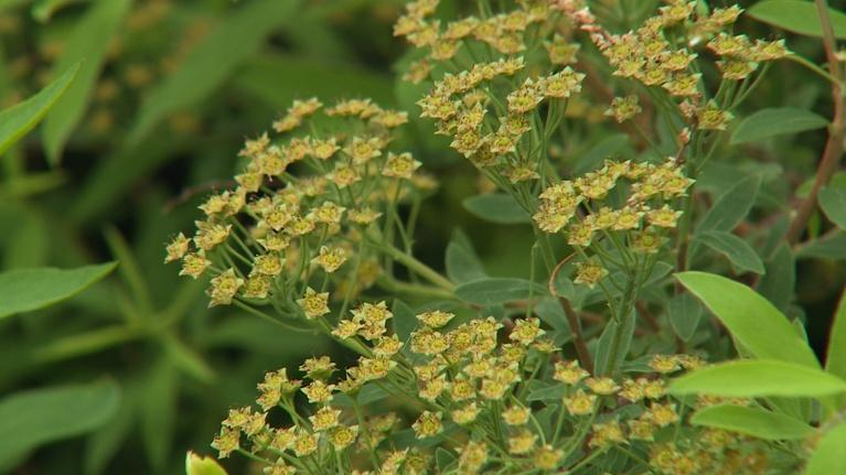 Backyard Farmer: Backyard Farmer: Keep Ticks Off and Pruning Flowering Shrubs