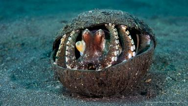 An Octopus' Coconut Home