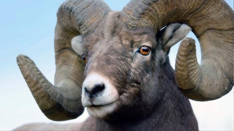 Kingdoms of the Sky: Head Banging Bighorn Sheep of the Rockies