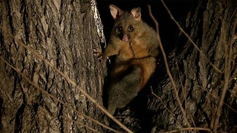 Magical Land of Oz -- Brushtail Possums Fight for Trees In a Melbourne Park