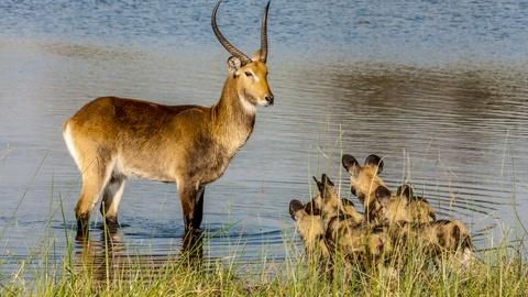 Nature -- The Rarest Antelope in the World