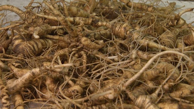 SCI NC: Poachers threaten native ginseng in NC parks