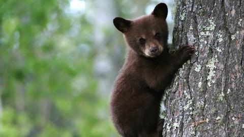 Black Bear Cubs Practice Climbing
