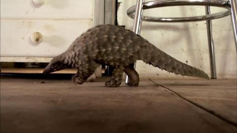 Nature -- Abused Baby Pangolin Gets a New Home