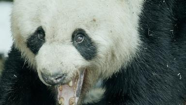Wild Panda Courtship Filmed for First Time