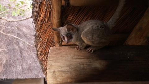 Bush Baby Tenants| Backyard Nature