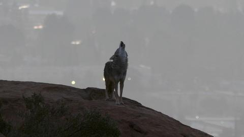 Earth Focus -- Coyotes and P22