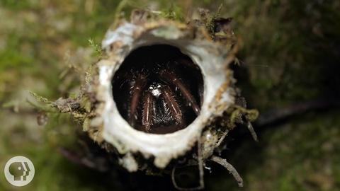Deep Look -- Turret Spiders Launch Sneak Attacks From Tiny Towers