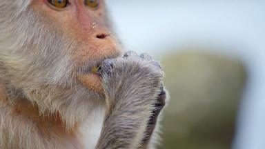 Tool-Using Macaques Could Drive Shellfish Extinct