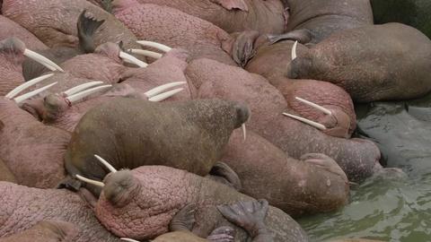Wild Alaska Live -- Wild Moments: Walrus