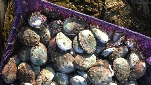 Earth Focus -- Dying Oceans: Abalone Restoration In California