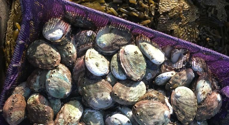 Earth Focus: Dying Oceans: Abalone Restoration In California