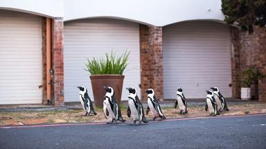 A Waddle of Penguins Head Into Cape Town