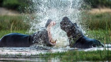 Hippos Fight Over Territory