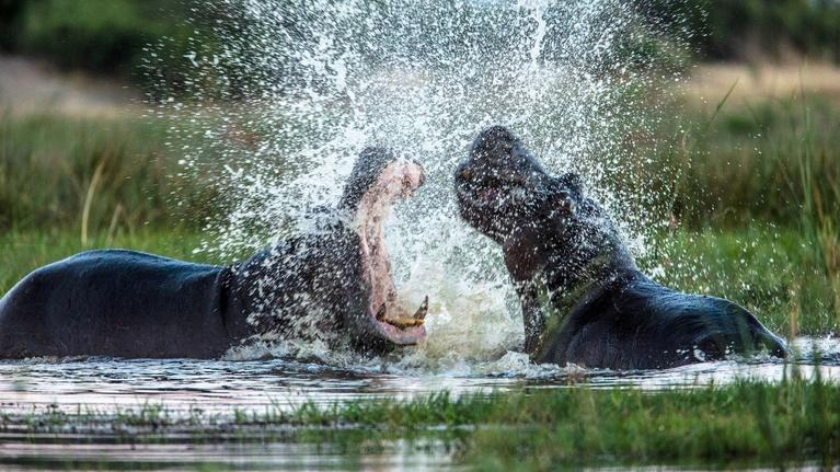 Nature: Hippos Fight Over Territory