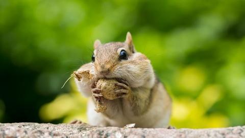 Nature -- Chipmunk Showdown