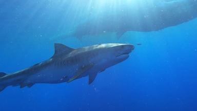 Preview of Sharks of Hawaii