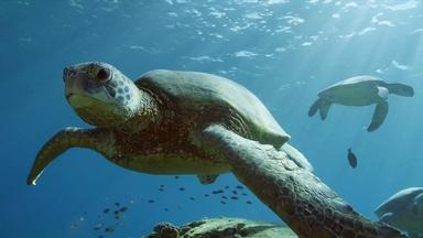 What Makes Hawaii's Green Sea Turtles Unique?