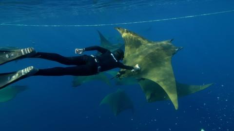 Nature -- Behind the Lens | Diving Deep with Camera-Wearing Devil Rays