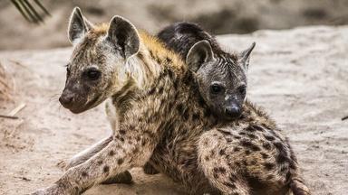 Hyena and Warthog Families Share a Home