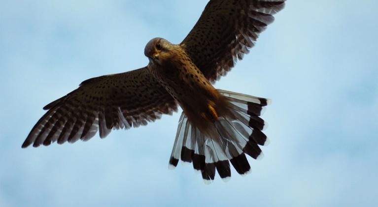 Ireland's Wild Coast: Kestrels in the Church