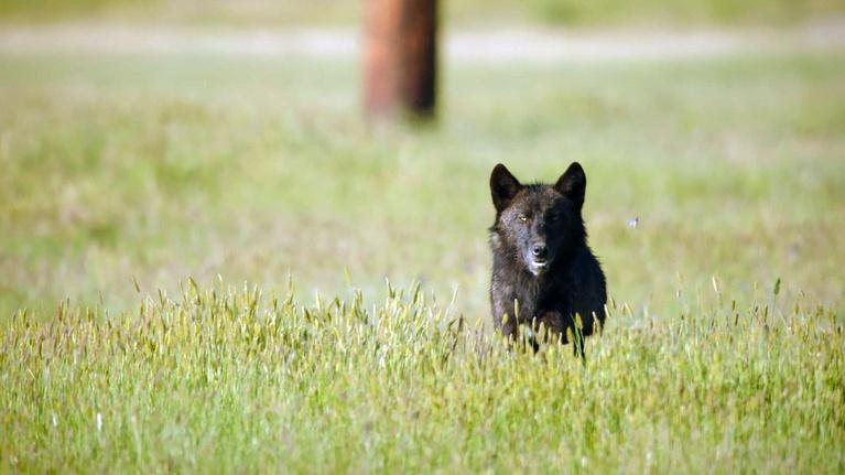 Great Yellowstone Thaw: Wolves and Ground Squirrels