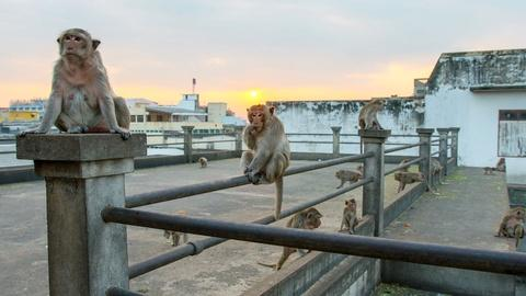 Wild Metropolis -- Macaques in Thailand Raid a Moving Car for Food