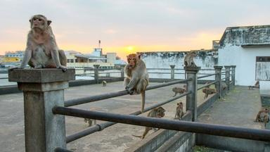 Macaques in Thailand Raid a Moving Car for Food