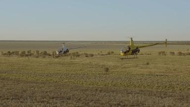 Helicopter Cowboys Wrangle Cattle in Australia