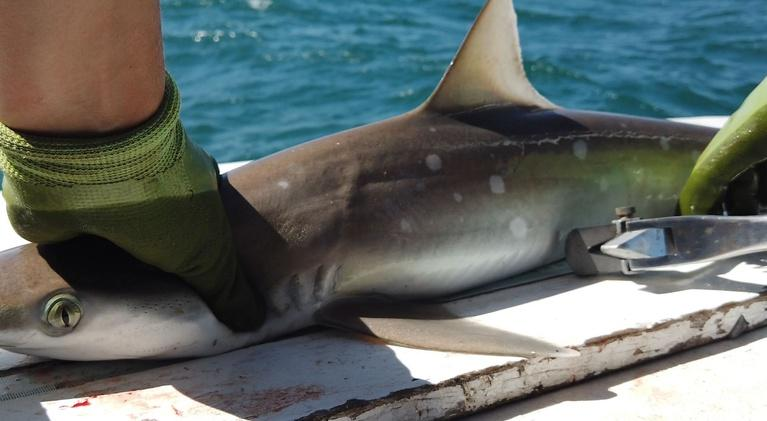 SCI NC: New tools for shark research