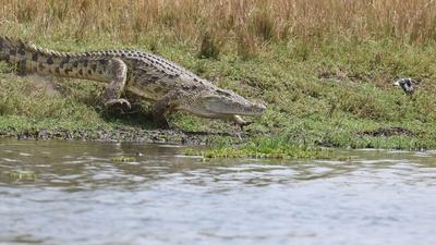 Rivers of Life | Nesting Crocodiles and Nile Monitor Lizards