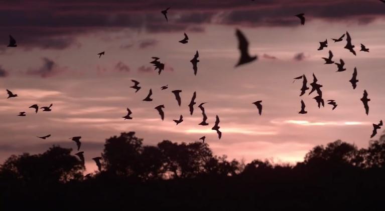 SCI NC: Bat sounds reveal bat secrets
